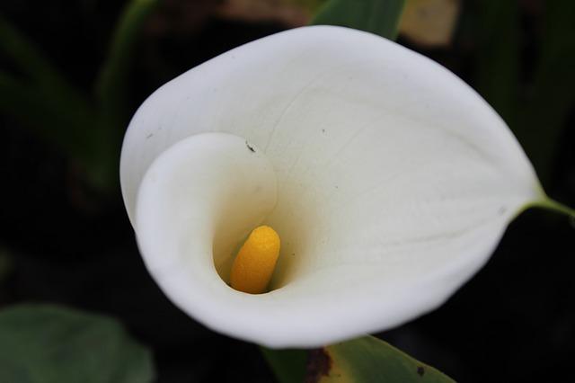 Árón  bílý